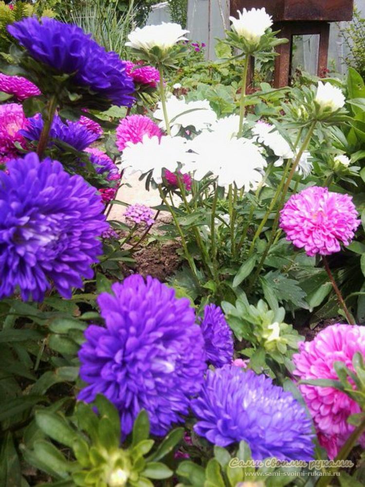 Астра цветы выращивание из семян 21