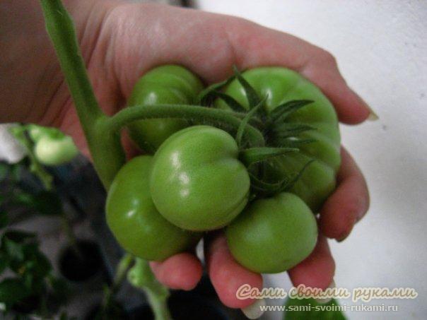 Выращивание помидоров на балконе