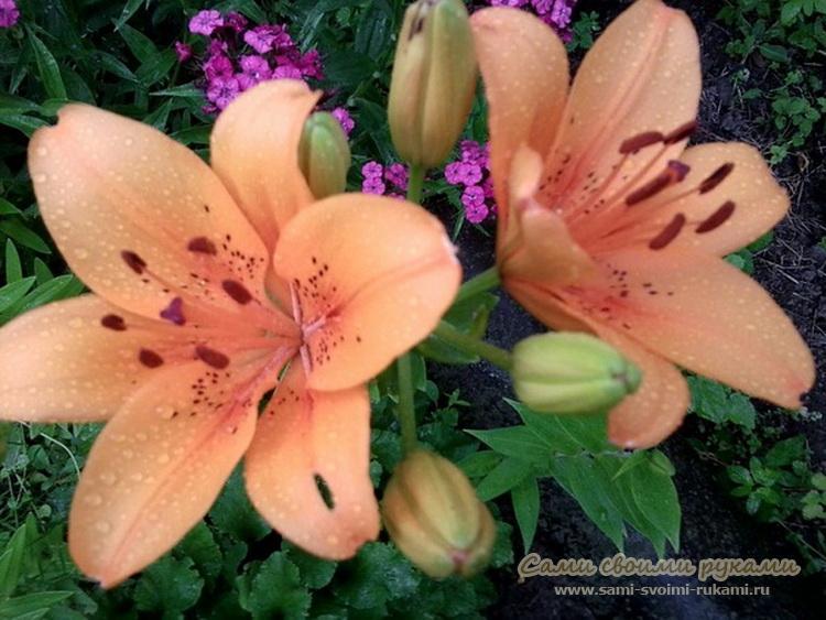 Выращивание лилий в саду и уход за ними
