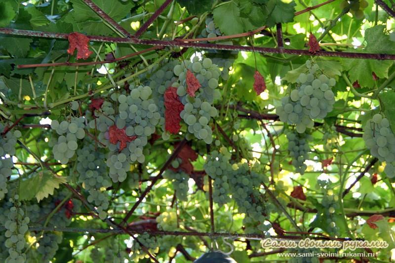Беседка из винограда (виноградная беседка)