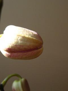 Уход за орхидеями, как добиться максимального цветения