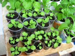 Как вырастить петунию на балконе