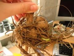 Как выращивать георгины на балконе - мастер класс, фото