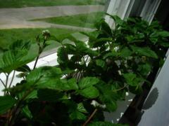 Выращивание земляники на подоконнике. Мастер класс от посева до первого сбора ягод