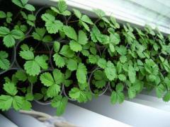 Выращивание земляники на приусадебном участке