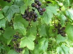 Выращиваем черную смородину на своём садовом участке