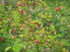Ремонтантная малина от посадки до сбора урожая
