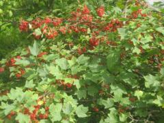 Красная смородина - секреты ухода и выращивания