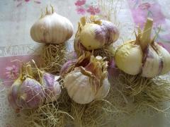 Выращивание чеснока и уход за ним