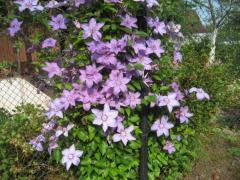 Клематисы - выращивание на приусадебном участке