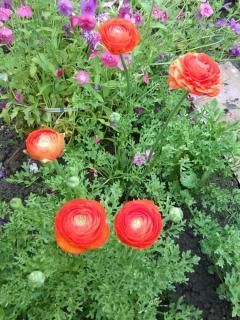Лютики, как вырастить этот удивительный цветок