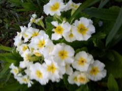 Примула садовая - секреты выращивания с фото
