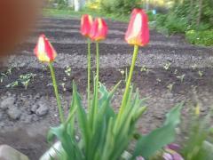 Уход за тюльпанами в саду