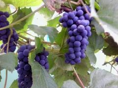 Как вырастить здоровый виноград на даче