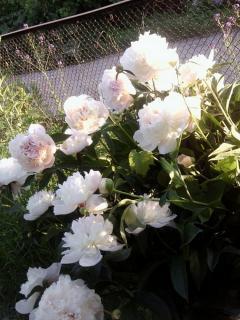 Выращивание пионов в саду