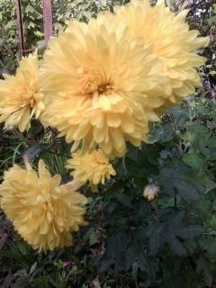 Хризантемы - как правильно ухаживать и выращивать
