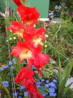 Гладиолусы - как вырастить этот прекрасный цветок