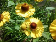 Гелениум в вашем саду - посадка и уход, фото с дачи