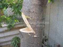 Как правильно спилить высокое дерево