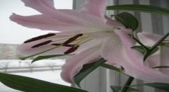Как выращивать лилии дома