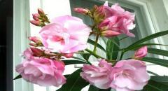 Олеандр розовый в домашних условиях. Секреты выращивания.
