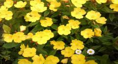 Анатера - жёлтые цветы, наполняющие сад благоуханием