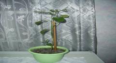 Апельсиновое дерево в домашних условиях - советы по уходу и выращиванию