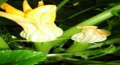 Как выращивать кабачки правильно