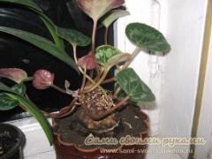 Как выращивать цикламен - инструкция по уходу, фото